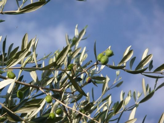 Maintain Olive Trees
