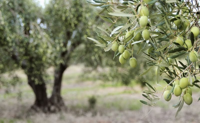 growing and planting olive trees