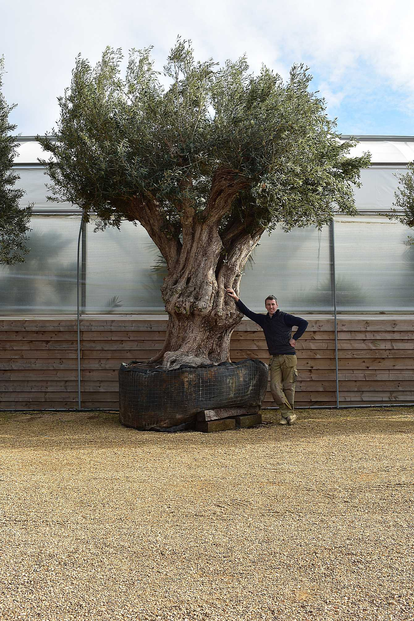 Large Ancient Olive Trees For Exterior Centre Pieces