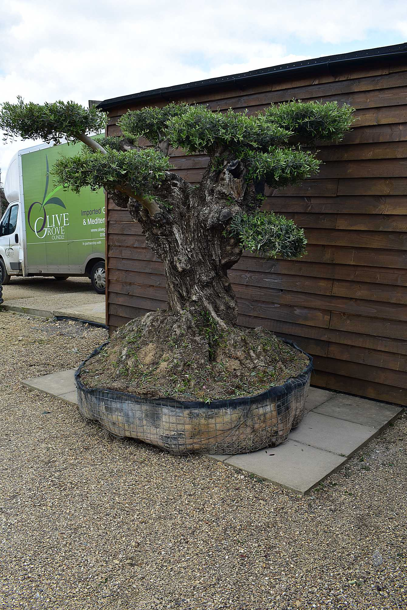 Gnarled cloud olive tree olive grove oundle - Does olive garden deliver to your house ...