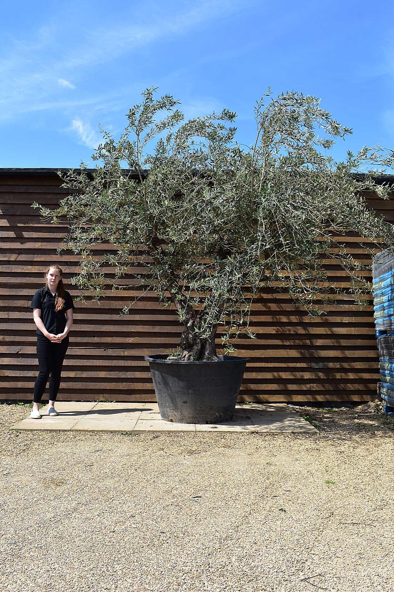 500lt gnarled multi stem olive tree no 41 olive grove - Does olive garden deliver to your house ...