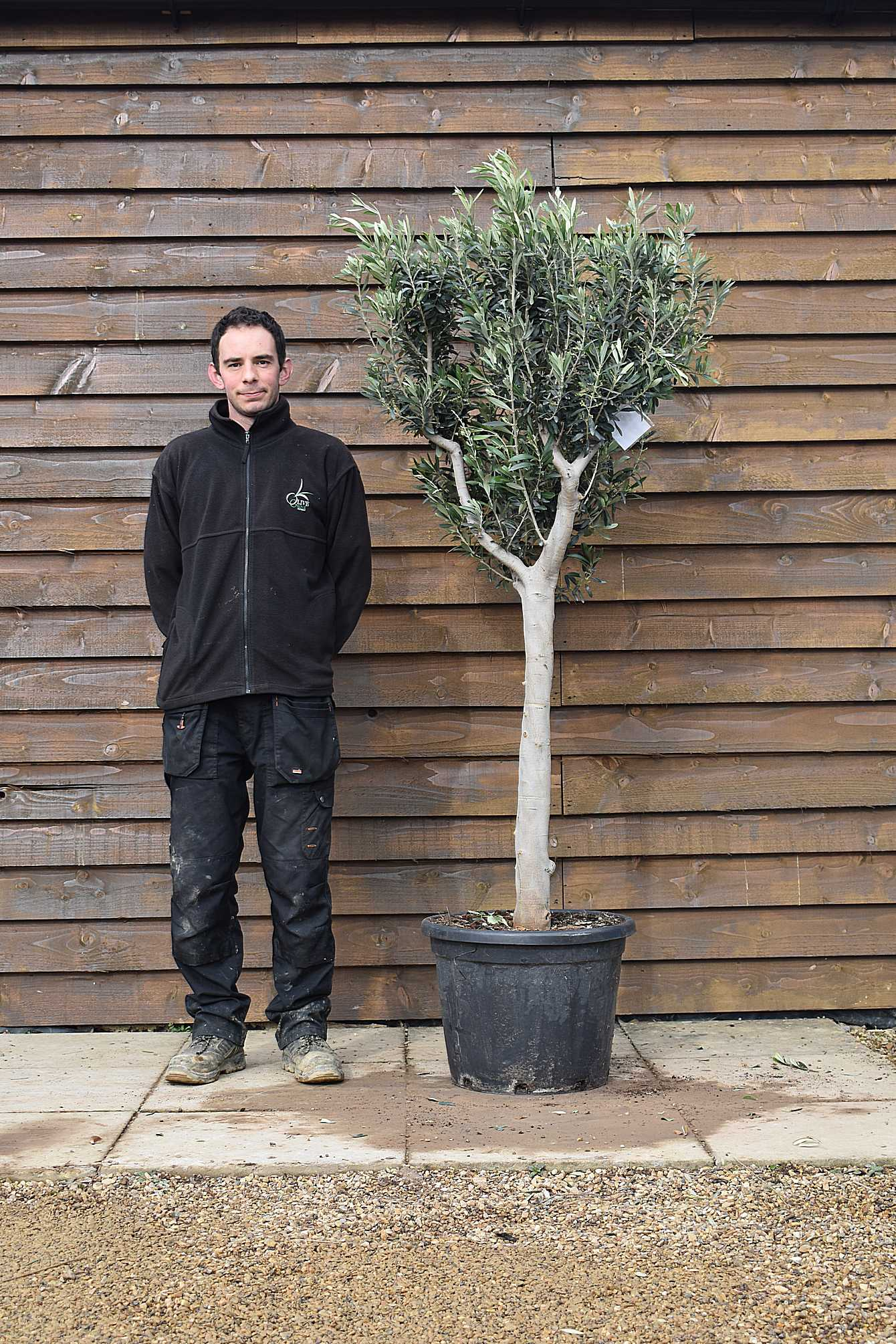 Chelsea olive tree no 104 delivered price standard - Does olive garden deliver to your house ...