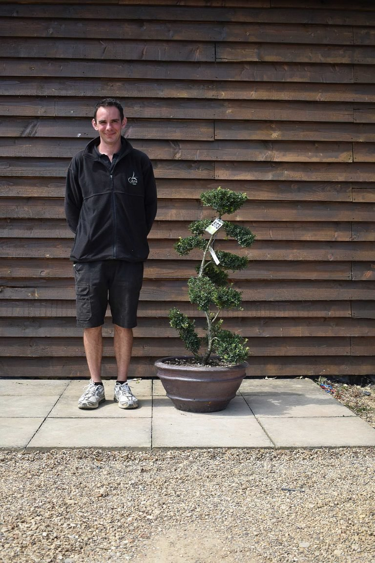 Potted ilex bonsai delivered price olive grove oundle - Does olive garden deliver to your house ...