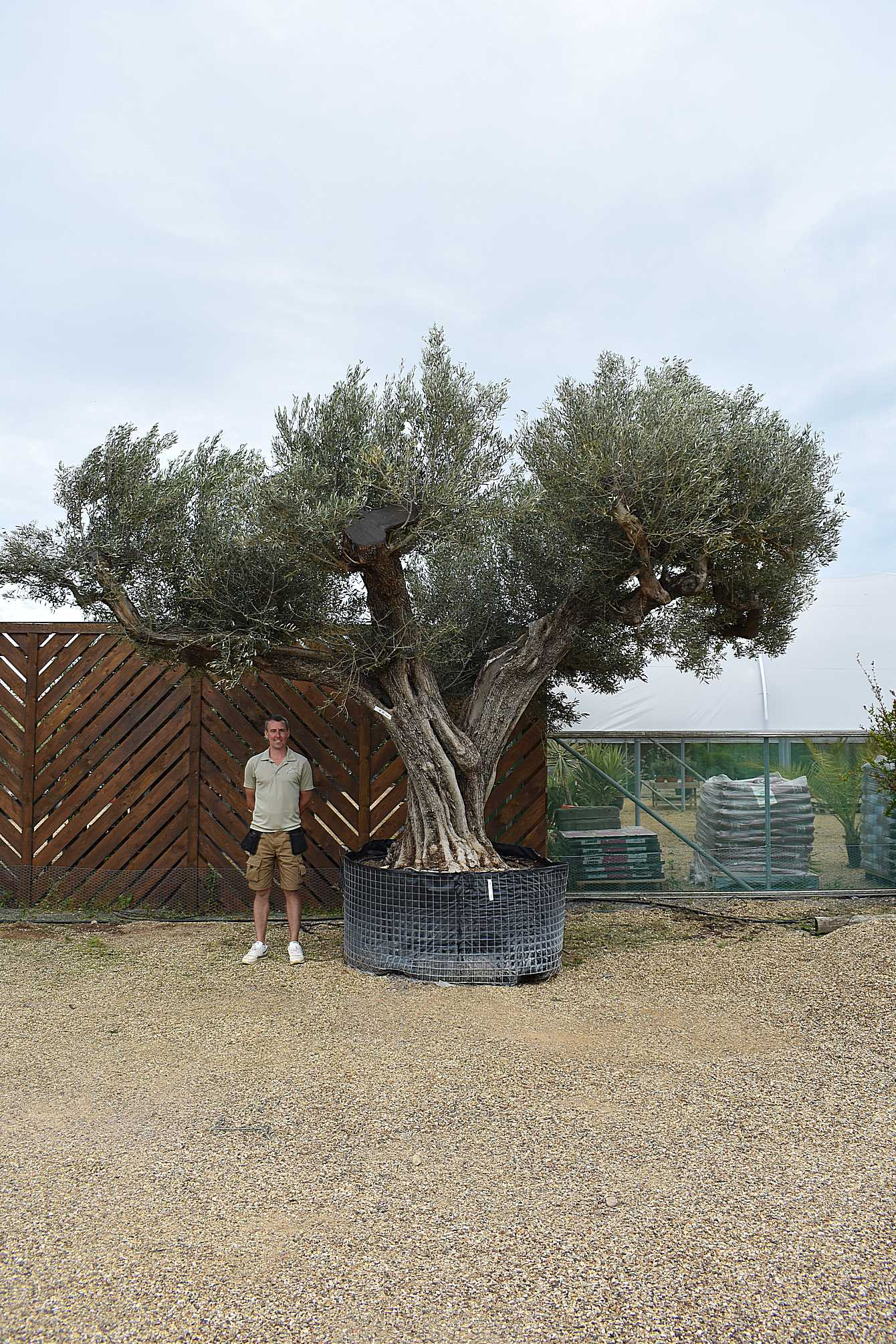 Large ornate ancient olive tree olive grove oundle - Does olive garden deliver to your house ...