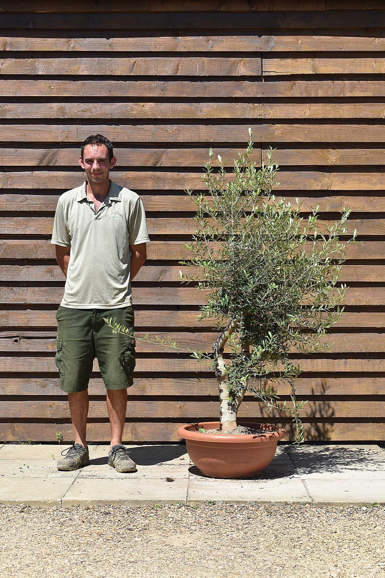 Olive bonsai bowl 60cm no 243 delivered price olive - Does olive garden deliver to your house ...