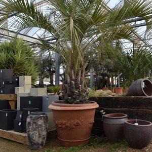 butia capitata palm tree