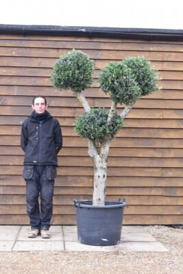 Clipped Olive Trees