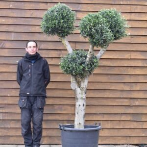Clipped & Formal Olive Trees
