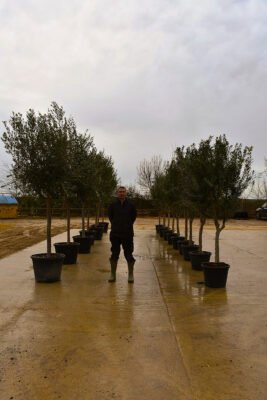 Pleaching Olive Trees