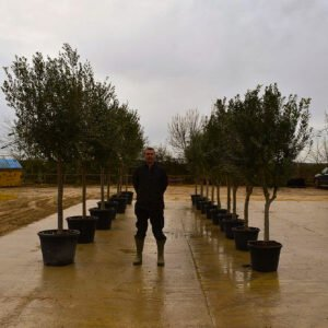 Screening Olive Trees