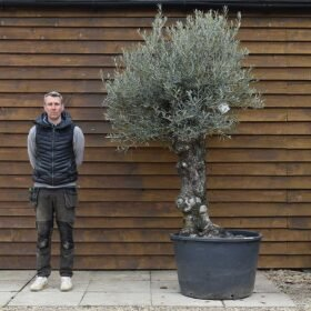 Gnarled Bonsai Olive Tree No. 312 Front