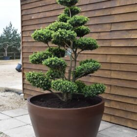 Potted Buxus Cloud Olive Tree No. 314 Seen From The Right