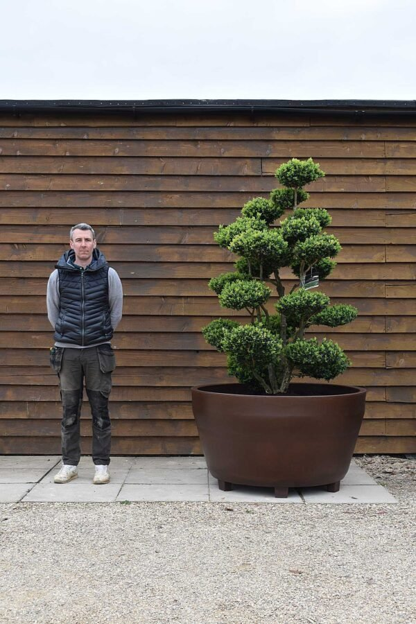 Potted Buxus Cloud Olive Tree No. 314
