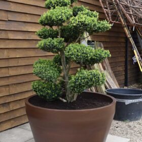 Potted Buxus Cloud Olive Tree No. 314 Seen From The Left