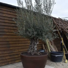 Potted Gnarled Bonsai Olive Tree No. 330 Seen From The Left