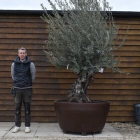 Potted Gnarled Bonsai Olive Tree No. 330
