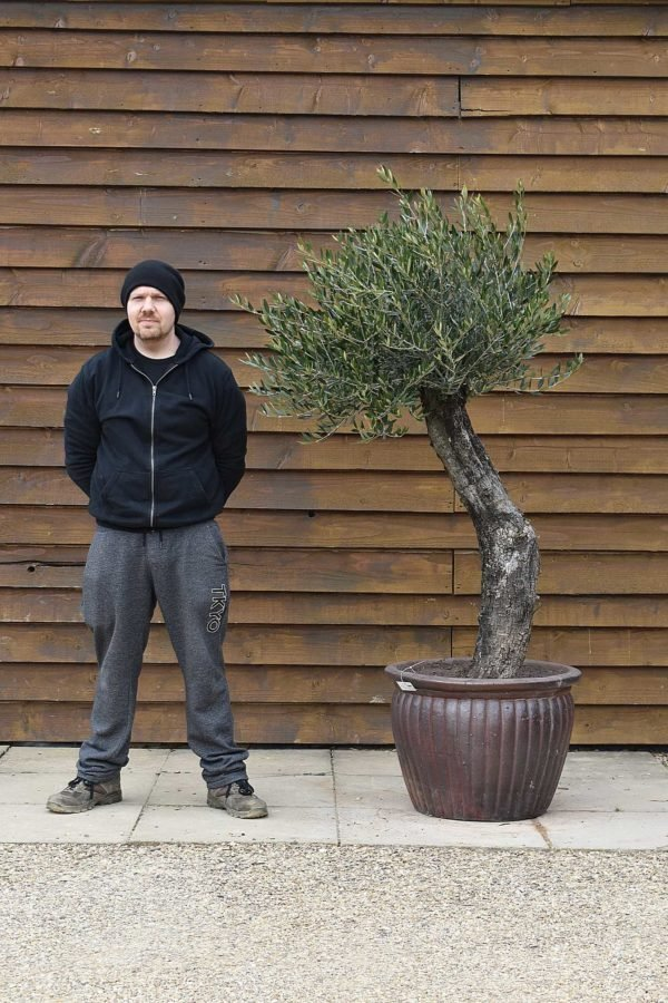 Potted Gnarled Bonsai Olive Tree No. 361 Right Side