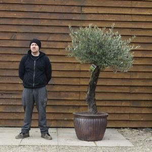 Potted Gnarled Bonsai Olive Tree No. 361 Left Side