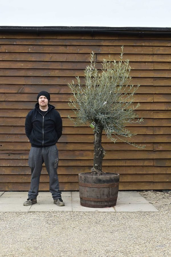 Medium Potted Gnarled Bonsai Olive Tree No. 367 Left Side