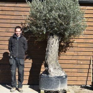 Ancient Olive Tree No. 376