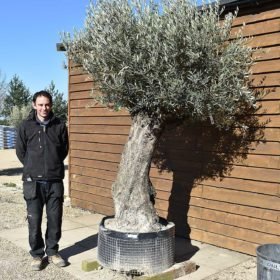 Ancient Olive Tree No. 376 Seen From The Right