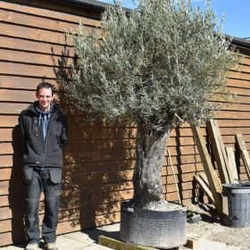 Ancient Olive Tree No. 383 Seen From The Left