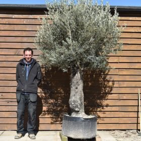 Ancient Olive Tree No. 383