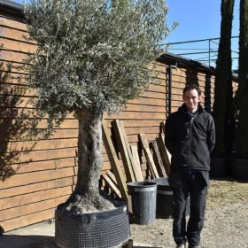 Ancient Olive Tree No. 384 Seen From The Left