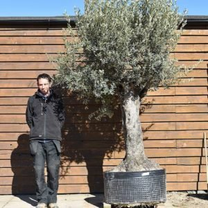 Ancient Olive Tree No. 384