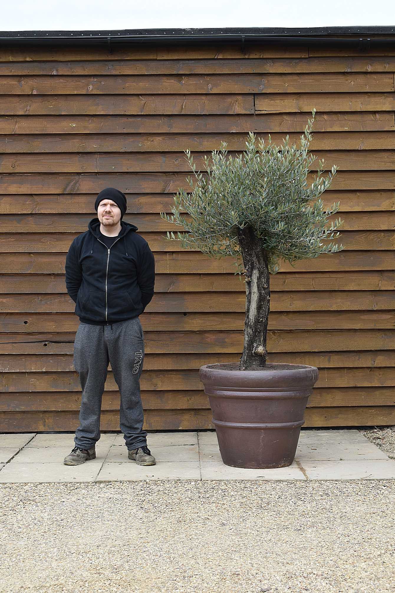 Potted Gnarled Bonsai Olive Tree No. 388 Front