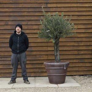 Potted Gnarled Bonsai Olive Tree No. 388 Back