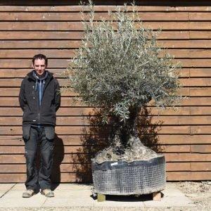 Ancient Olive Tree No. 394