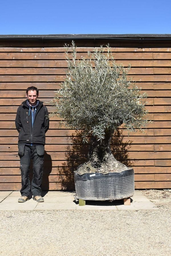 Ancient Olive Tree No. 394