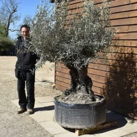Ancient Olive Tree No. 394 Seen From The Right