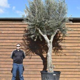 Multi Stem Olive Tree No. 412 Front
