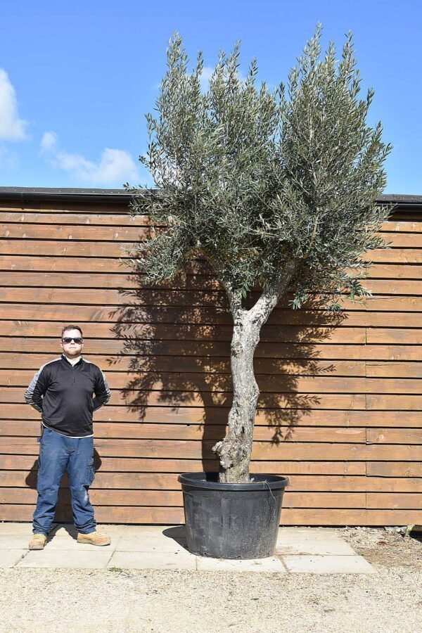 Multi Stem Olive Tree No. 412 Back
