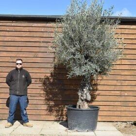Gnarled Bonsai Olive Tree No. 431 Front