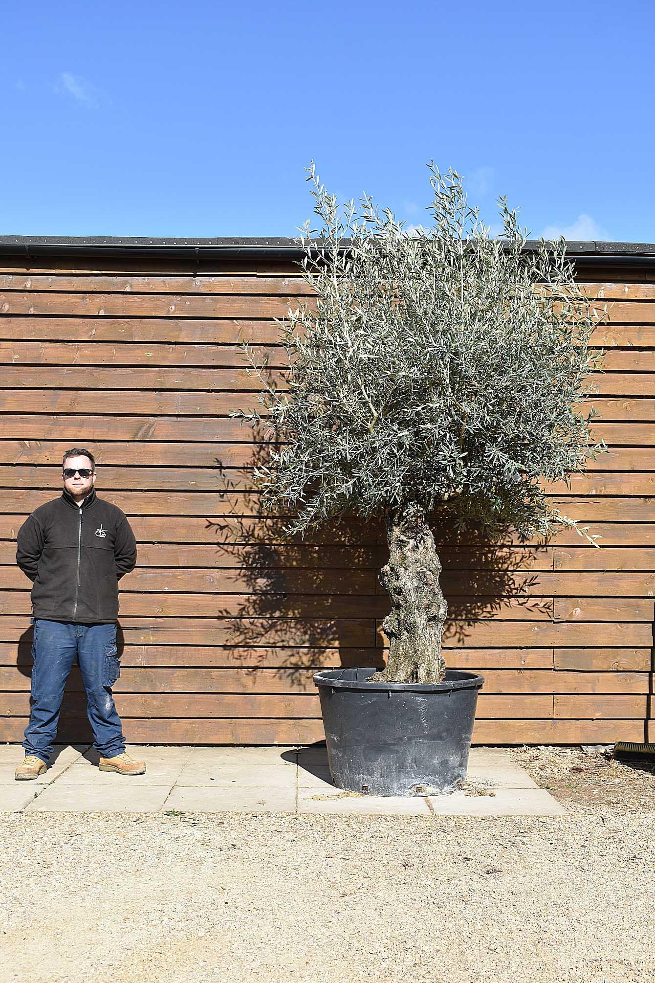 Gnarled Bonsai Olive Tree No. 431 Back