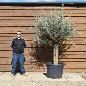 Medium Top Worked Picual Olive Tree No. 443 Front