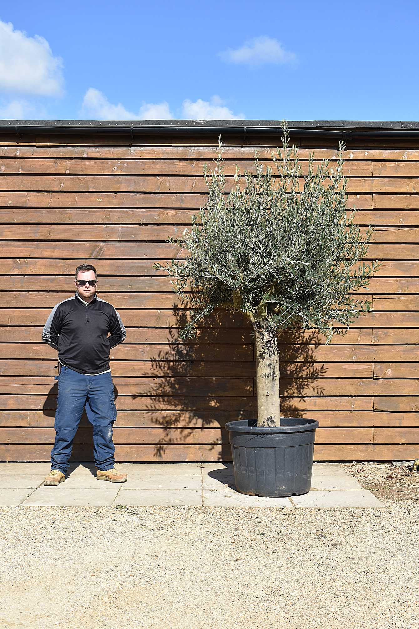 Top Worked Picual Olive Tree No. 443 Back