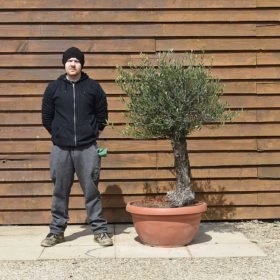 Small Gnarled Olive Tree in a Bonsai Bowl No. 601 Right Side