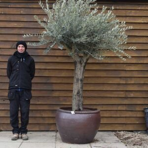Potted Top Worked Olive Tree No. 612 Back