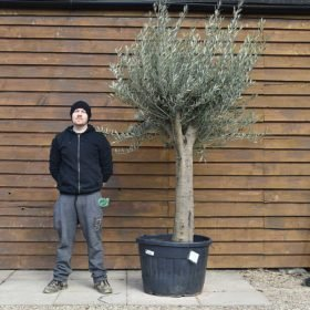 Top Worked Picual Olive Tree No. 644 Right Side