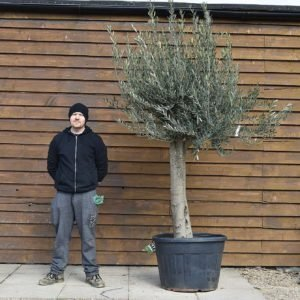 Top Worked Picual Olive Tree No. 644 Left Side