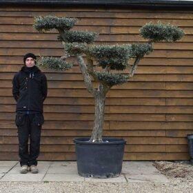 Cloud Olive Tree No. 655 Side