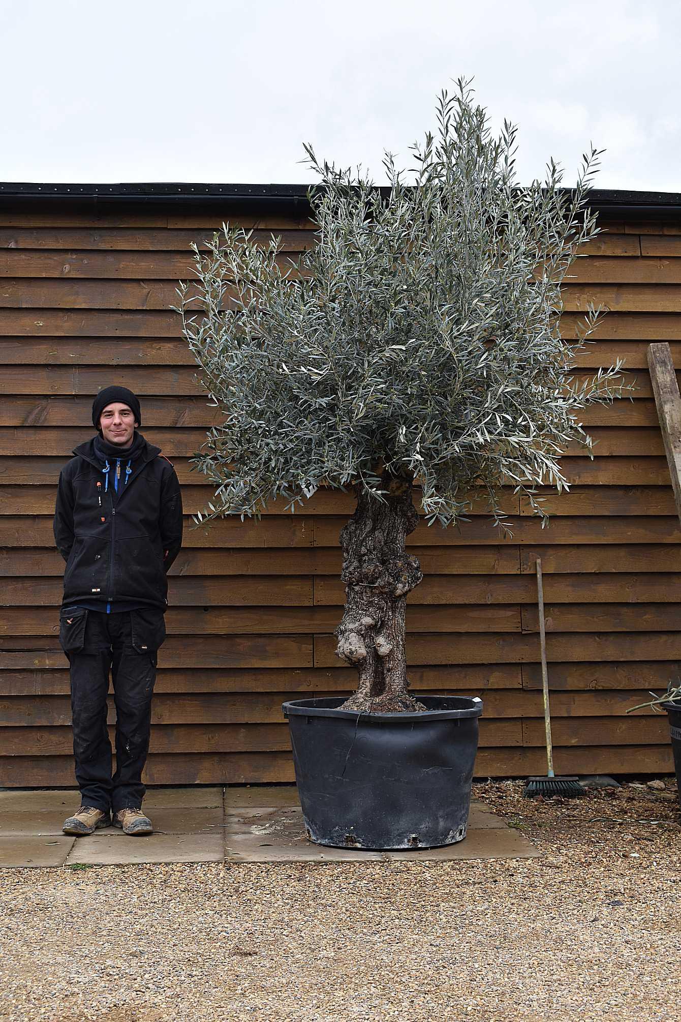Gnarled Bonsai Olive Tree No. 675 Front
