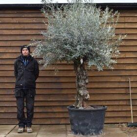 Gnarled Bonsai Olive Tree No. 675 Back