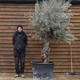 Gnarled Bonsai Olive Tree No. 691 Front