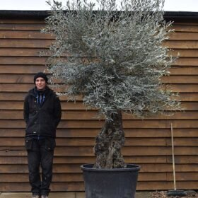 Gnarled Bonsai Olive Tree No. 691 Back
