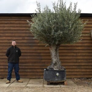 Ancient Olive Tree No. 702